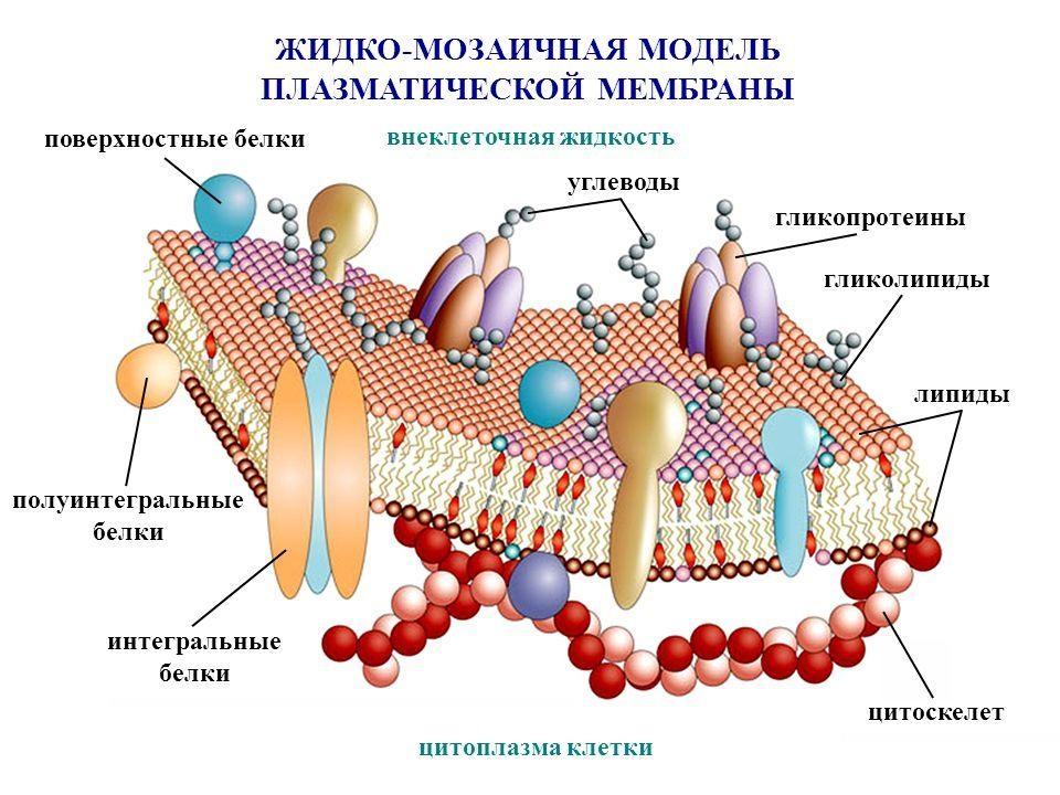 Нутрициология Модель мембраны
