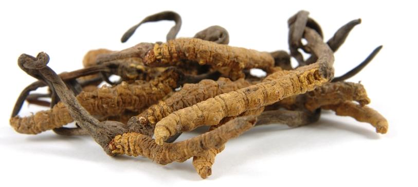 гриб кордицепс китайский